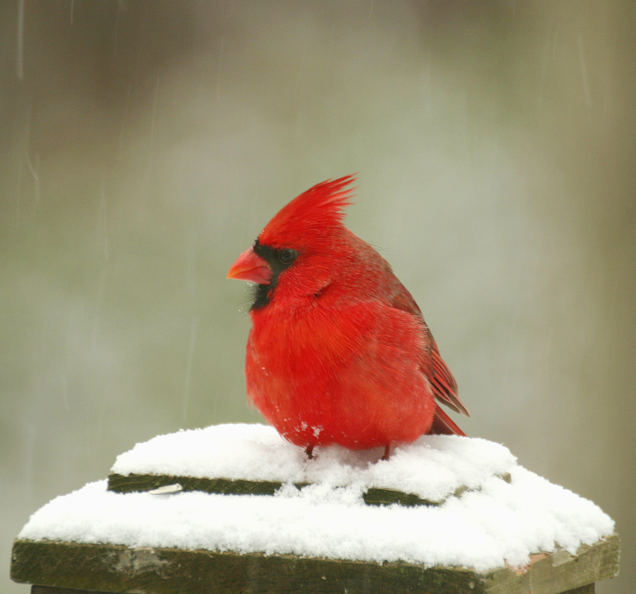 red cardinal bird in snow