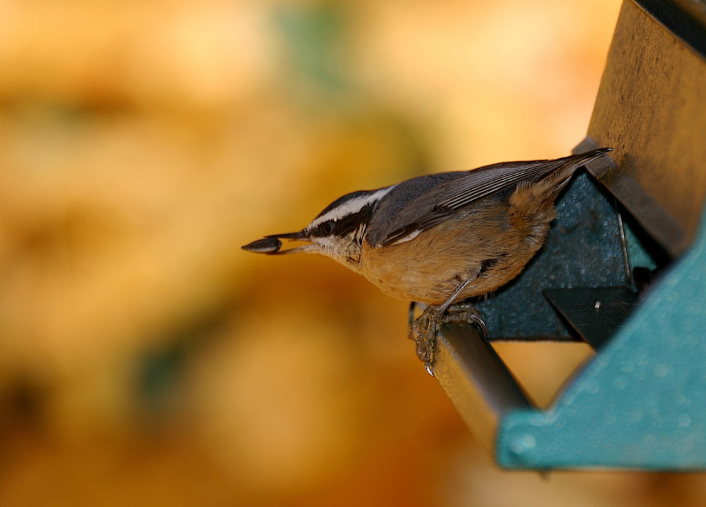Red-breasted nuthatch by Chris Bosak (copyright, all rights reserved)