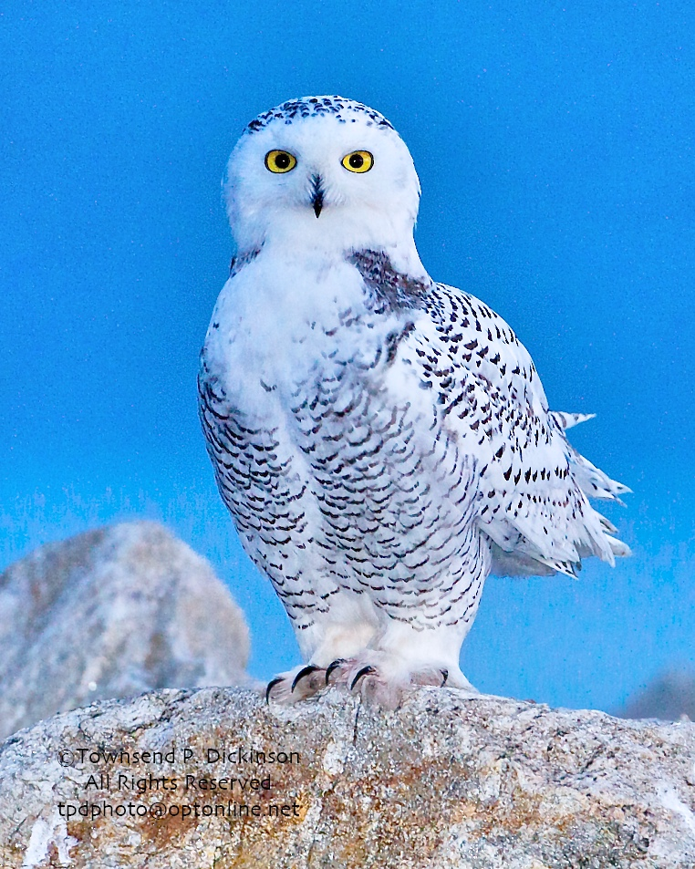 Snowy Owl, 1st year male, on jetty, Long Isalnd Sound, Fall, Norwalk, CT. ©Townsend P. Dickinson. All Rights Reserved.