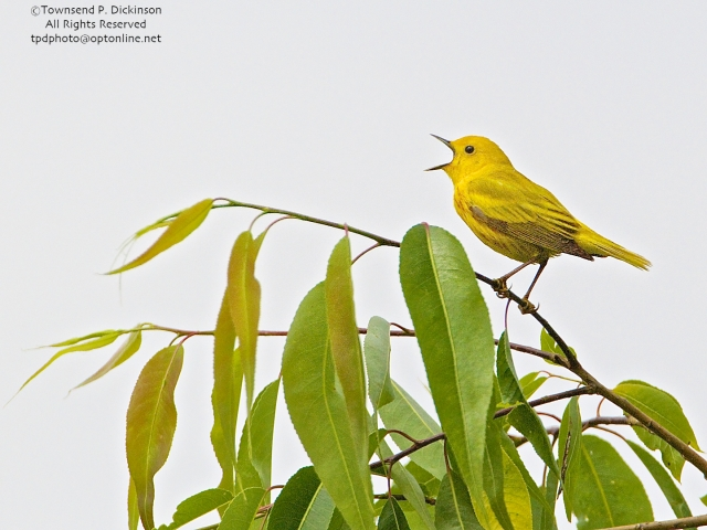 Yellow Warbler, male, singing in spring on territory, Crane Creek, Ohio. ©Townsend P. Dickinson. All Rights Reserved.