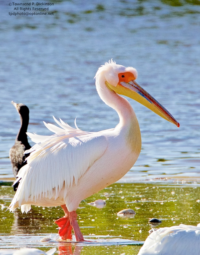Great White Pelican, (probable female in breeding plumage), extralimital, roosting with American Pelicans, J.N.Ding Darling NWR, Sanibel Island, Florida. ©Townsend P. Dickinson All Right Reserved www.kymrygroup.com
